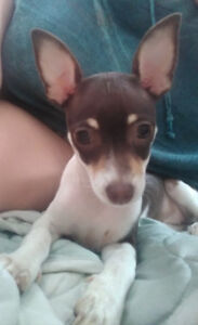 Female chihuahuas for adoption! Two girls left.