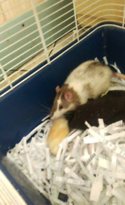 Selling male rat