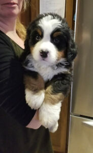 Kijiji Ontario Dogs And Puppies For Sale