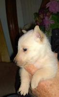 Scottish Terrier Puppy - wheaten male CKC Registered