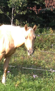 Almost FREE! 2 Reg AQHA stud colts! VERY Well BRED! Strathcona County Edmonton Area image 3
