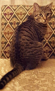 Lost 1 year old Male Short haired cross bred tabby