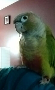 Gorgeous Cinnamon Green Cheek Conure and budgie