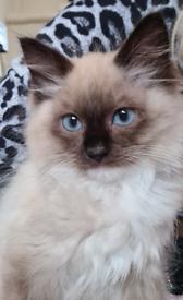 Ragdoll Kitten 4 months