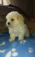 3 gorgeous baby faced Maltipoos -small Poodle and Maltese mix