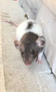 2 rats mâles de 3 mois à donner