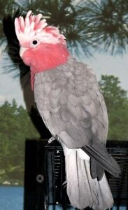 Galah Cockatoo ( Rose Breasted Cockatoo )