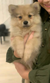 Full Pedigree Pomeranian Puppy