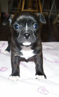 Boston Terrier Chihuahua puppies