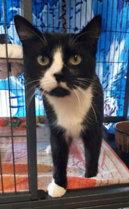 Boots - rescued tuxedo female cat for adoption