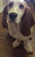 Super Cute Adorable 1 year Old Pure Bred Basset Hound