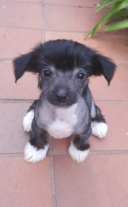 Chinese Crested Puppy Para Hills West Salisbury Area Preview