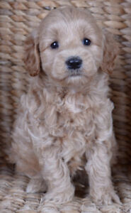 COCKAPOO PUPPIES WITH BEAUTIFUL COATS