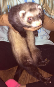 1 Male and 1 female Ferret PLUS all supplies need new home asap!