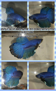 Male super delta betta