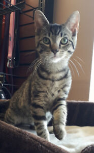 Ray - rescued brown tabby male kitten for adoption