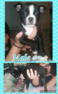 Boston Terrier Pug Puppies, Ready To Go! Will Deliver Half Way!!