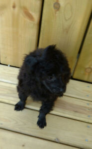 Male Miniature Poodle
