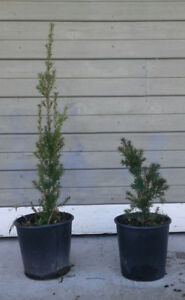 Hicksii Yews for Sale