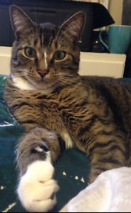 Beautiful 4 year old Male Neutered Cat Free to good home