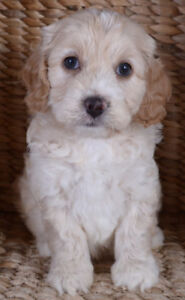 Cockapoo Puppies Puppies | Adopt Local Dogs & Puppies in
