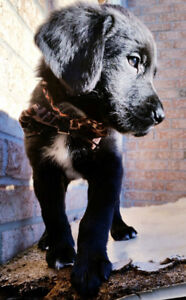 Mini Goldendoodle puppies Black and white Green eyes