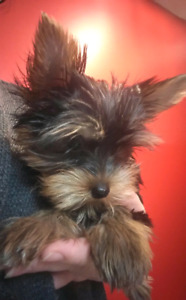 Purebred Yorkshire Terrier (Yorkie) Puppies