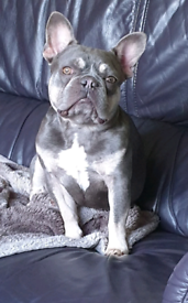 Louie (KC Reg. French Bulldog Boy)