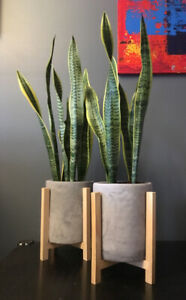 Potted Sansevieria in Modern Planter (approx 3ft tall)