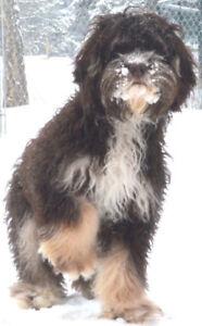 Adult dog adoptions DOODLES