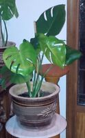 Beautiful large swiss cheese plant -12 inch glazed clay planter