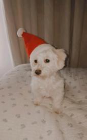 Lovely female puppy Bichon Maltese 🐶🐾