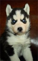 Blue Eyes Husky puppy