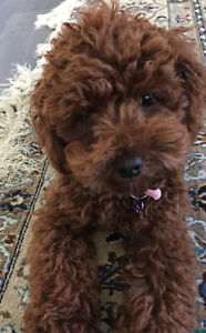 Adourable, Rare, Mini Red Poodle