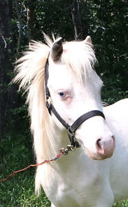 Amhr stallion. Excellent breeding,show, or driving horse