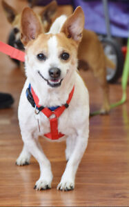 **ADOPT De Luca - CHIHUAHUA cross is available for adoption***