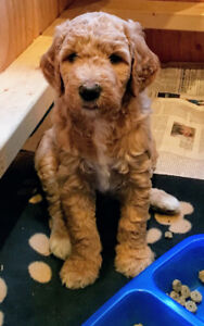 3rd. Generation Goldendoodle Puppies!