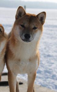 Beautiful 18 month old Female Shiba Inu