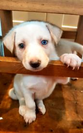 (4 Still available) Siberian husky/ german shepherd puppies