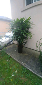 RAPHIS PALM TREE FOR SALE