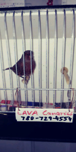 Nice canaries for sale
