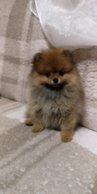 Pomeranian | Dogs & Puppies for Sale - Gumtree