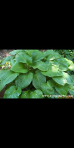Green hostas for sale