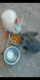 Two rabbit with cage