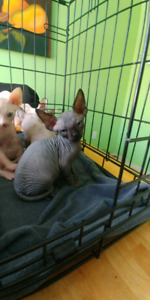 Chatons sphynx prêt dams une semaine