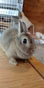 Female Netherland Dwarf Rabbit