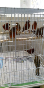 Bronze , Cobalt canaries for sale 7 min from west Edmonton mall