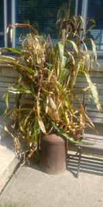 Corn stalks and colourful corn for decoration