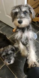 Miniature Schnauzer boy puppy