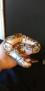 Ball python!!